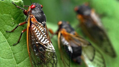 Cicada guts stuck on your car? Detailing expert explains best way to remove them